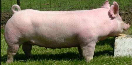 Picture for category Bloodstock - Pigs