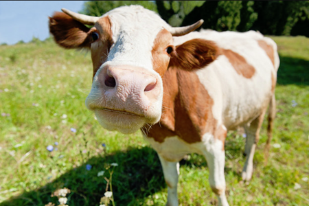 Picture for category Livestock - Cattle
