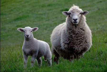 Picture for category Livestock - Sheep