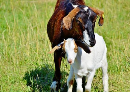 Picture for category Livestock - Goats