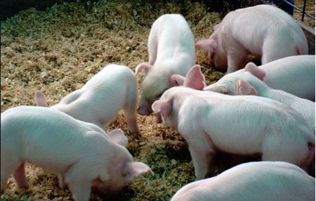 Picture for category Livestock - Pigs