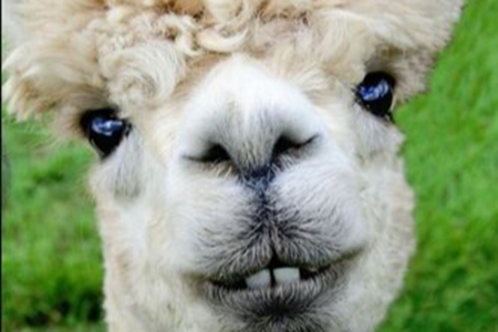 Picture for category Bloodstock - Alpaca